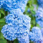 陽明山藍色繡球花